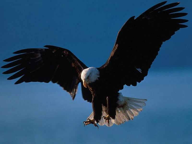 Préférence l'aigle royal - ThingLink SV63
