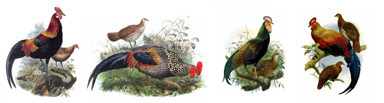 COQS SAUVAGES / JUNGLE FOWLS