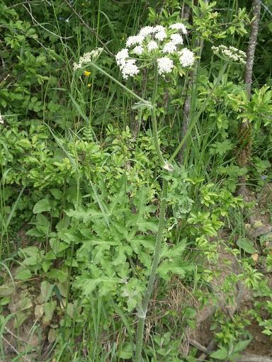 Plantes reconnaitre les toxiques et mortelles for Plantes belgique