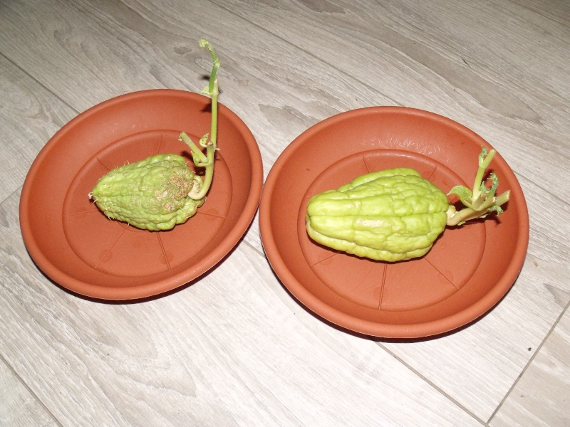 Comment bien planter des christophines en pots - Comment cuisiner des christophines ...